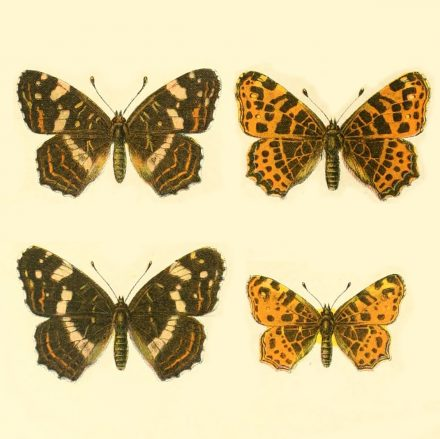 La doble vida de la mariposa cartográfica